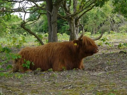 Highland Cattle on West Down
