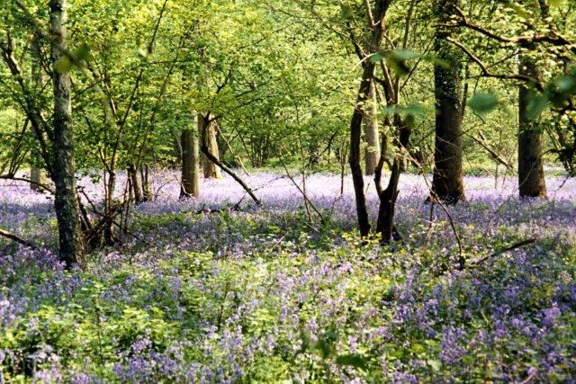 Wherwell - Bluebells in Harewood Forest